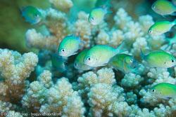 BD-120423-Fury-Shoal-6197-Chromis-viridis-(Cuvier.-1830)-[Blue-green-damselfish].jpg